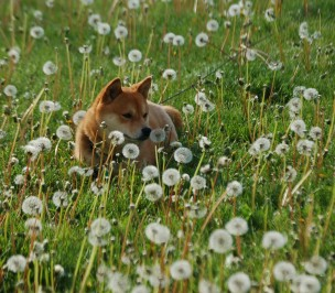 Shiba inu lying in wait in a field of dandelions